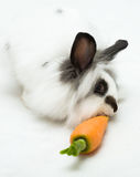 Rabbit eats a carrot Royalty Free Stock Photo