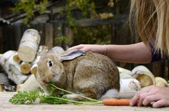 Rabbit eats carrot from hand Stock Images