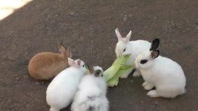 Rabbit eats corn stock video