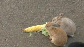 Rabbit eats corn stock footage
