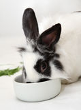 Rabbit eats food Stock Images