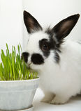 Rabbit eats grass Royalty Free Stock Photos