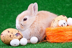 Rabbit and eggs Royalty Free Stock Photos