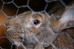A rabbit eye after a wire fence Royalty Free Stock Image