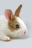 Rabbit face. Face of a white rabbit with brown ears royalty free stock images