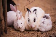 Rabbit family Royalty Free Stock Image