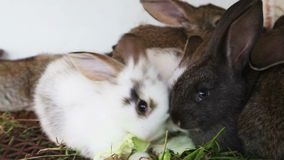 Rabbit family feeding cabbage leaves. Family rabbits feeding cabbage leaves inside rabbit hutch stock video