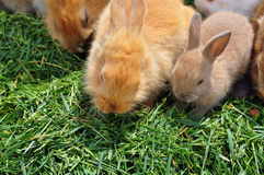 Rabbit family feeding on grass Stock Photography