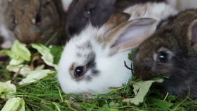 Rabbit family feeding grass. Family of grey and white rabbits eating grass inside rabbit hutch, closeup stock footage