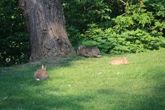 A Rabbit Family looks for breakfast Royalty Free Stock Images