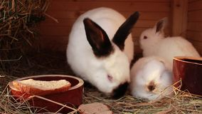 Rabbit family in rabbit - hutch. Beautiful rabbit family in rabbit - hutch stock video