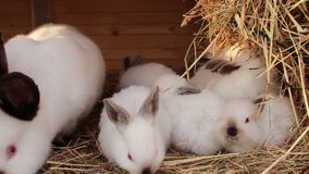 Rabbit family in rabbit - hutch. Beautiful rabbit family in rabbit - hutch stock footage
