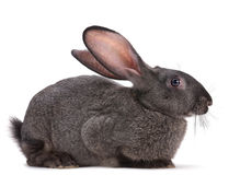Rabbit farm animal. Closeup on white background Stock Images