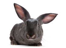 Rabbit farm animal. Closeup on white background Royalty Free Stock Image