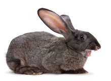 Rabbit farm animal Royalty Free Stock Image