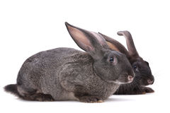 Rabbit farm animal Royalty Free Stock Photography