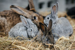 Rabbit in farm cage or hutch. Breeding rabbits concept Royalty Free Stock Image
