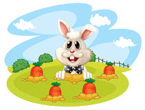 A rabbit at the farm with carrots Royalty Free Stock Photo