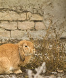 The  rabbit. Fat red rabbit sit in the weeds Stock Images