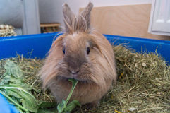 Rabbit during feeding. A household rabbit eating his salad Royalty Free Stock Photo