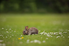 Rabbit in a field Royalty Free Stock Images