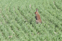 A rabbit in a field Stock Images