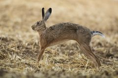 Rabbit in the field. Shot made in autumn Royalty Free Stock Photos