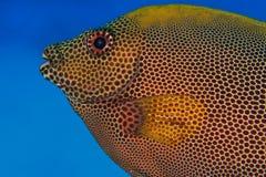Rabbit fish on blue sea stock photo