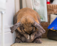 Rabbit on floor cleaning. Long eared rabbit cleaning whiskers by wall Stock Photo