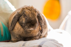 Rabbit on floor cleaning. Long eared rabbit cleaning whiskers by wall Stock Photos