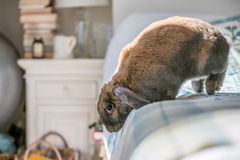 Rabbit on floor jumping down. Long eared rabbit jumping down from bed Stock Photo
