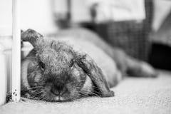 Rabbit on floor lying. Long eared rabbit lying by wall Stock Photos