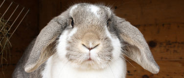 Rabbit with floppy ears. A rabbit (bunny) with floppy ears looking confused in the camera royalty free stock photos