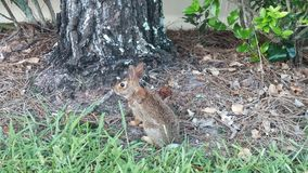 Rabbit in Florida Stock Images