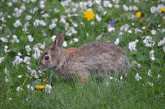 Rabbit in Flowers. A wild rabbit in a field of spring flowers, moulting his winter coat Royalty Free Stock Photos