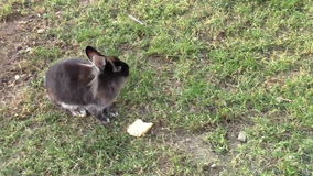 Rabbit. Fluffy brown rabbit eating bread stock video