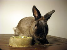 Rabbit with food in bowl. Portrait of pet rabbit with food in bowl Stock Photos