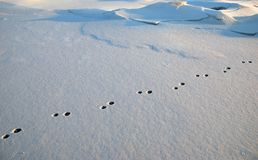Rabbit foot-prints in snow Royalty Free Stock Photography