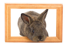 Rabbit with frame Royalty Free Stock Photo