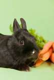 Rabbit with fresh carrots Stock Photos