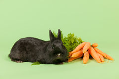 Rabbit with fresh carrots Stock Image