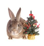 Rabbit with a fur-tree. Royalty Free Stock Photo