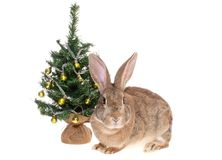 Rabbit with a fur-tree. Stock Images