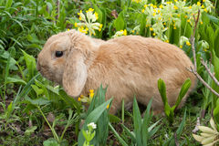 Rabbit in  a garden Royalty Free Stock Photography