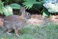 Rabbit in garden. Brown rabbit sits alert in a garden framed by green pachysandra plants Royalty Free Stock Photography