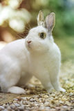 Rabbit in the garden. White rabbit in the garden Royalty Free Stock Photography