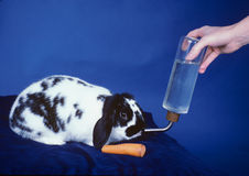 Rabbit gets Food and Drink. Long Eared Black and White Rabbit is getting a drink of water from hand held water container while carrot is waiting to be eaten Royalty Free Stock Photography