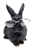 Rabbit with glasses Royalty Free Stock Photography