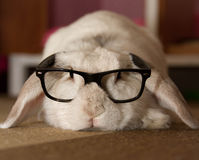 Rabbit in Glasses Stock Photo