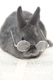 Rabbit with glasses Stock Photography